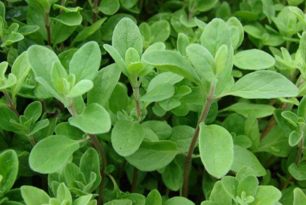 Maggiorana, come si coltiva in vaso sul balcone questa pianta aromatica?