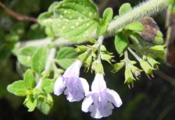 Una pianta aromatica da coltivare assolutamente in vaso sul balcone Mentuccia