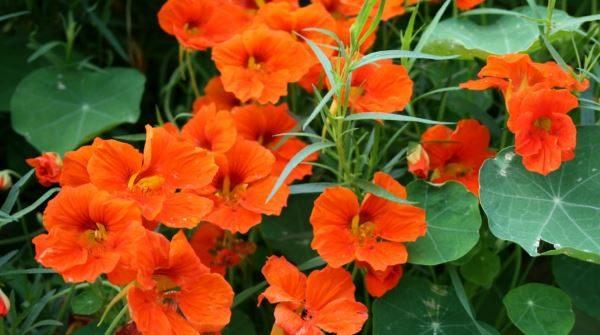 Nasturzio in giardino: scopri le cure e come coltivare i nasturzi in giardino.