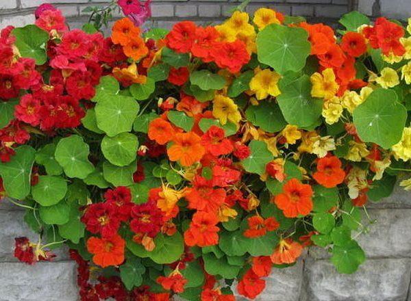 Nasturzio in vaso: scopri le cure e come coltivare i nasturzi in vaso sul balcone.