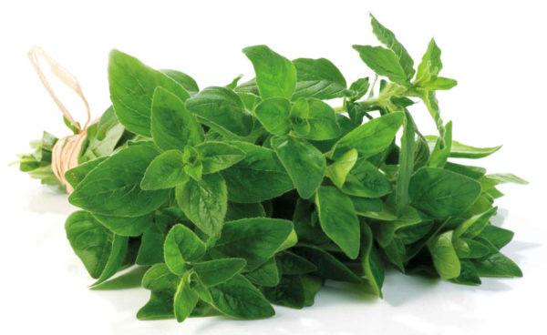 Origano una pianta aromatica e medicinale da coltivare assolutamente in casa
