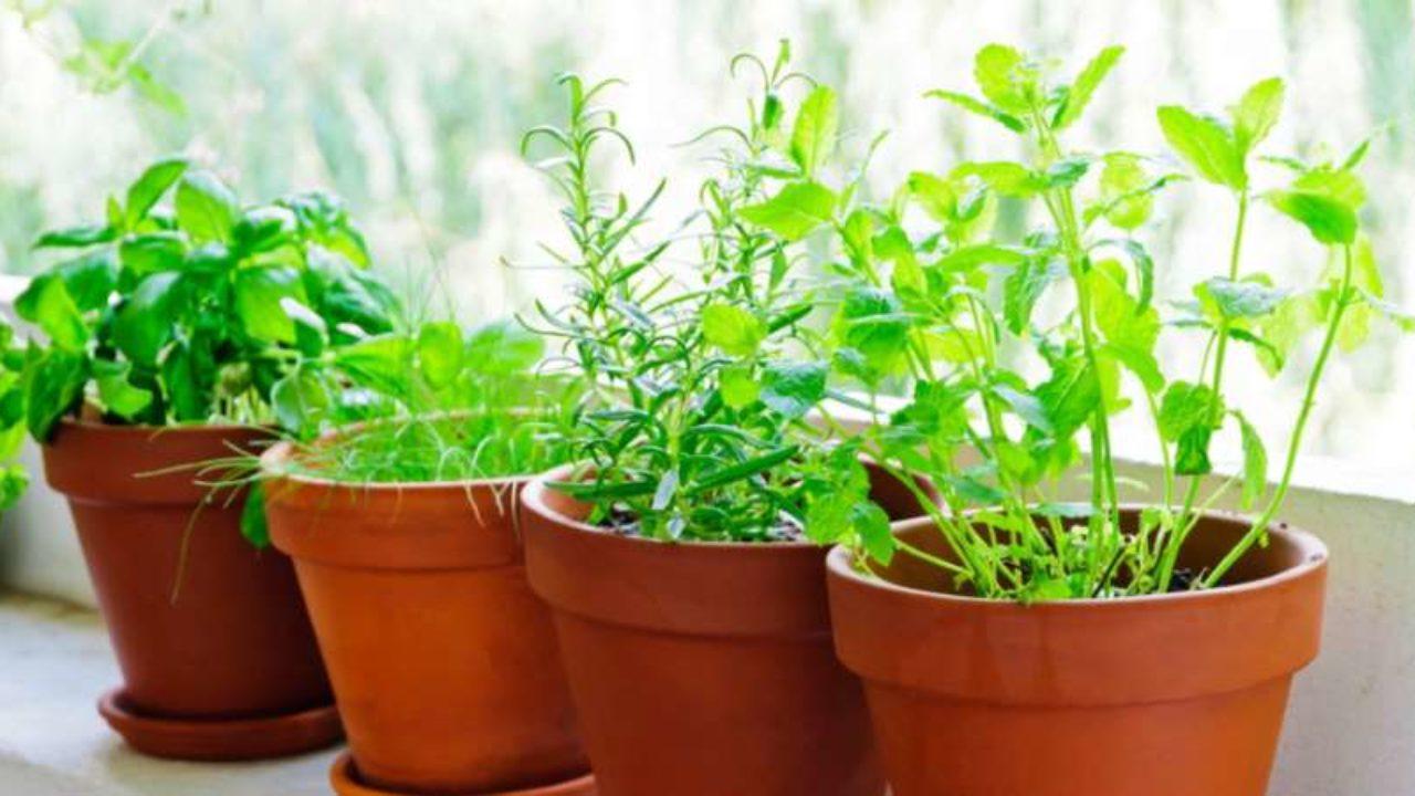 Coltivare In Casa Piante Aromatiche piante aromatiche da coltivare in vaso sul balcone: quale
