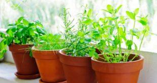 Piante aromatiche da coltivare in vaso sul balcone. Scopri come coltivare le piante aromatiche in casa, di quali cure hanno bisogno e consigli per avere sul balcone erbe aromatiche indispensabili in cucina sempre fresche.