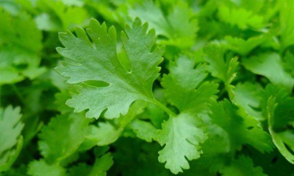 Prezzemolo pianta aromatica indispensabile da coltivare assolutamente in vaso sul balcone di casa