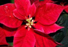 Stella di Natale: cos'è, cura e consigli per farla vivere a lungo. Scopri come prendersi cura della Stella di Natale, come farla fiorire e i consigli per farla rimanere verde e fiorita a lungo.