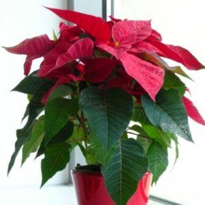 Stella di natale in vaso consigli per la cura e per la coltivazione. Scopri cosa devi fare per mantenere bella e verde la Stella di Natale tutto l'anno e farla rifiorire l'inverno successivo.