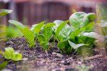 Spinaci: proprietà, come coltivarli in casa. Semina, raccolta e usi in cucina.